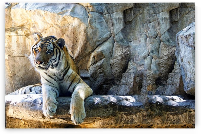 Tiger by Connie Maher