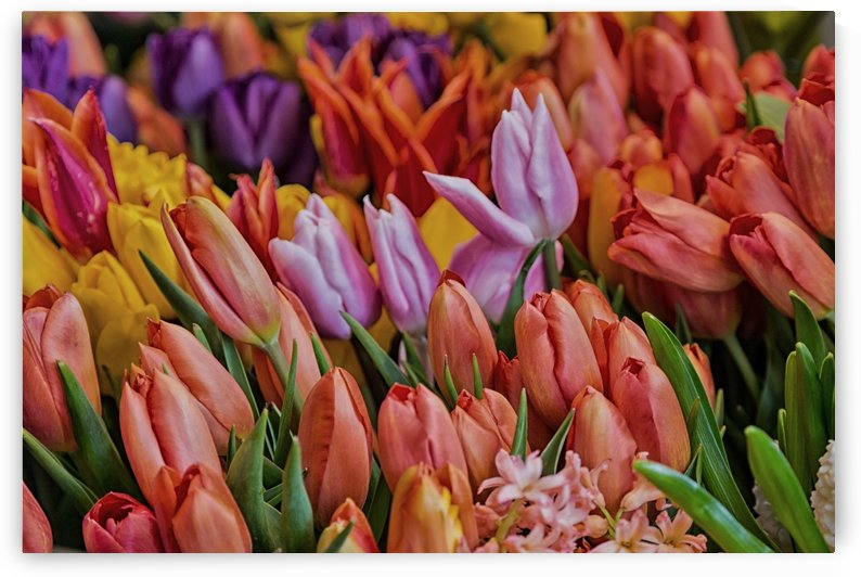 Many Colorful Tulips   Fine Art Edition by Darryl Brooks