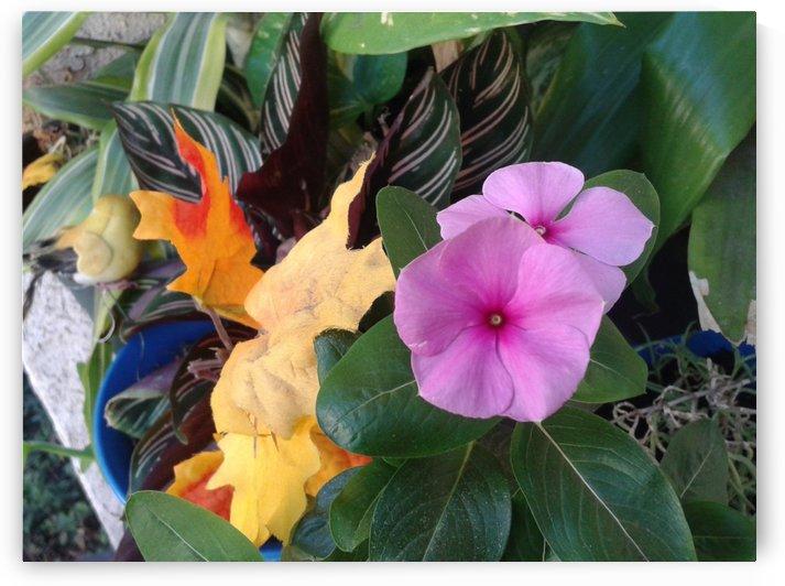 Pansies flower by RollaD