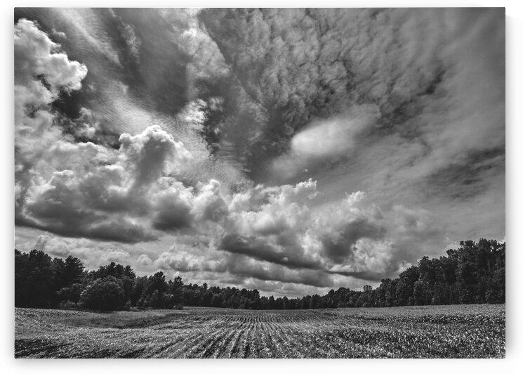 Corn Field by Bob Orsillo