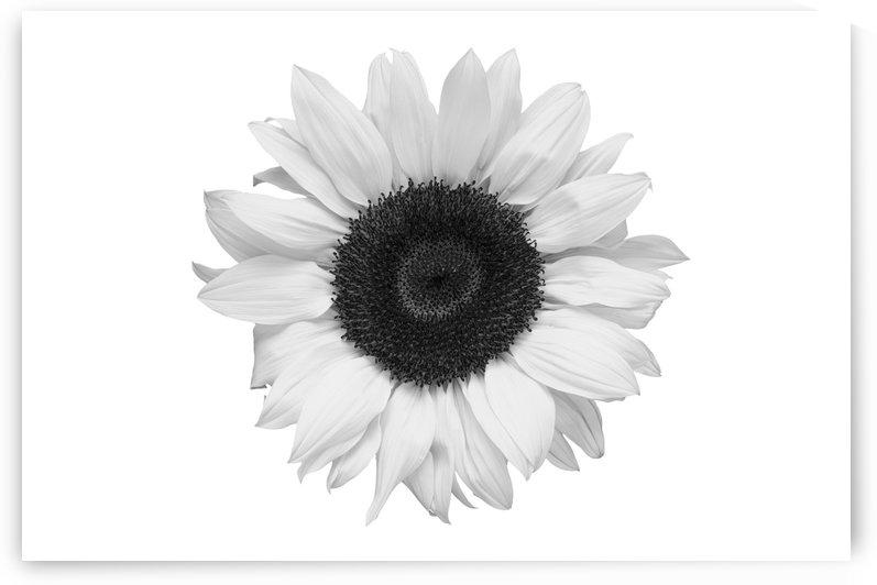 Sunflower sil B&W by Ian Barr