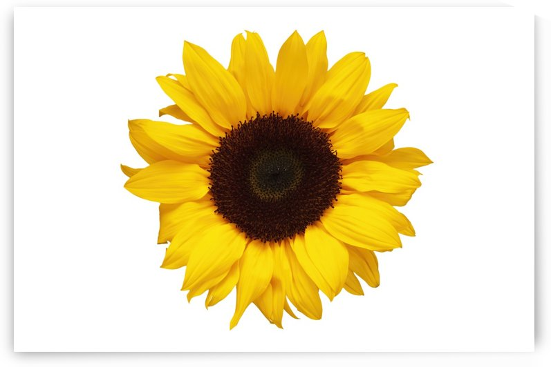 Sunflower sil by Ian Barr