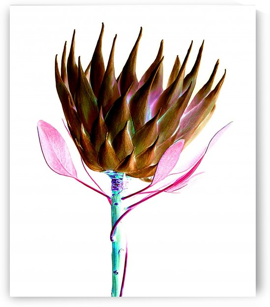protea flower by Bratty ART