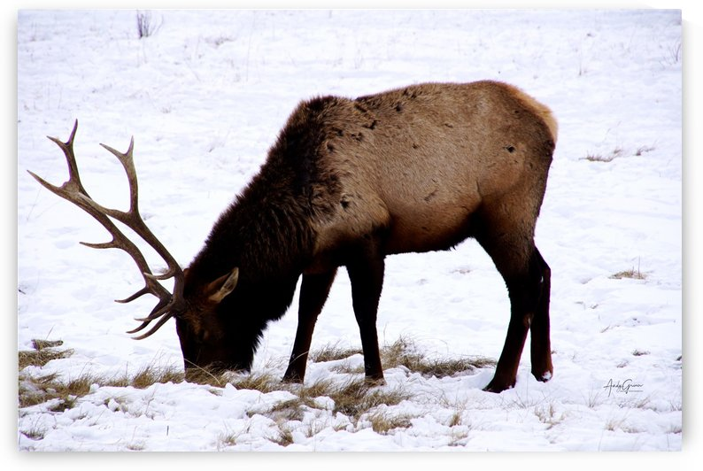 Elk in Wyoming by Andy Griner