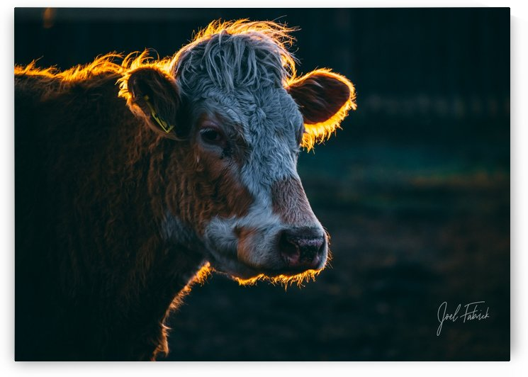 Glowing Cow by Joel Fabrick