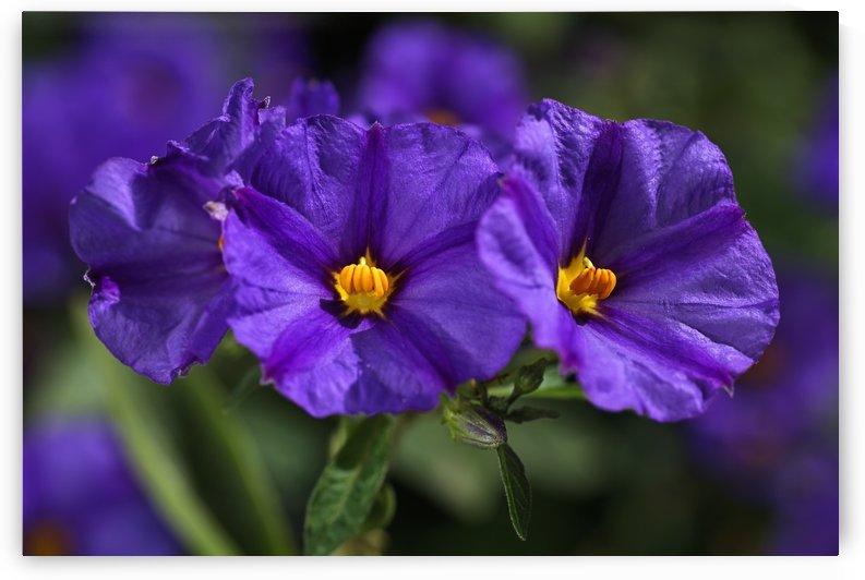 Potato Vine  Purple Flower by Joy Watson
