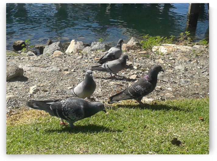 Pigeons  by RollaD