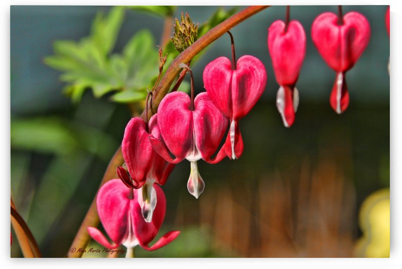 Bleeding Hearts by Mona Martin