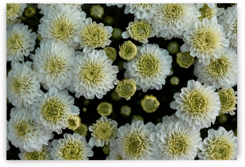 close-up view of white chrysanthemum flowers in blooming by Krit of Studio OMG