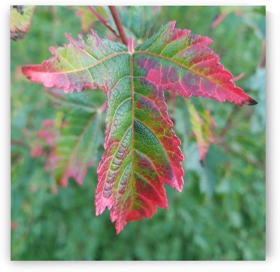 Maple Leaf by Jeremy Kasapidis