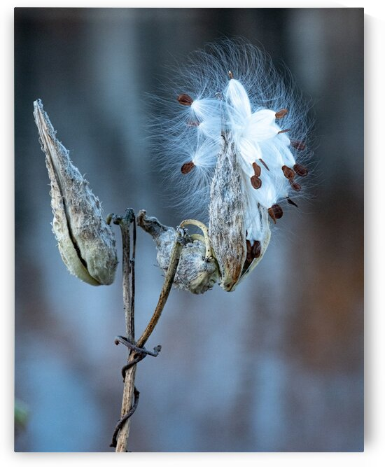 Milkweed Pod 1 by Dave Therrien