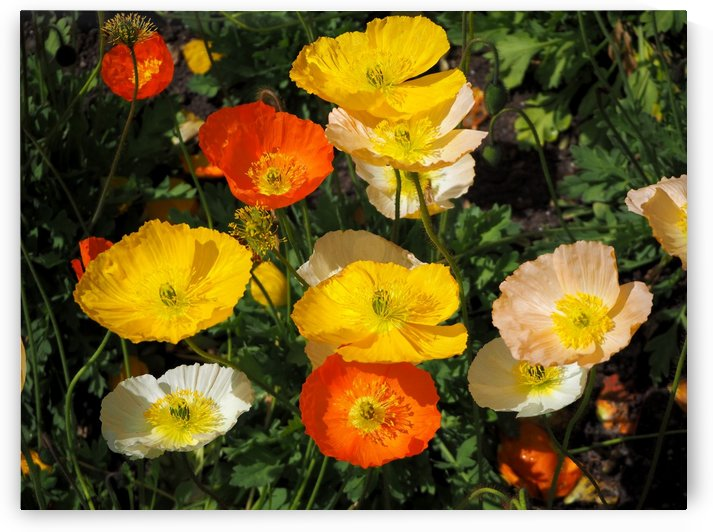 Colourful Poppies by Michaela Scherr