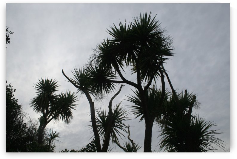 Coastal Cabbage Trees by Rachel Niven
