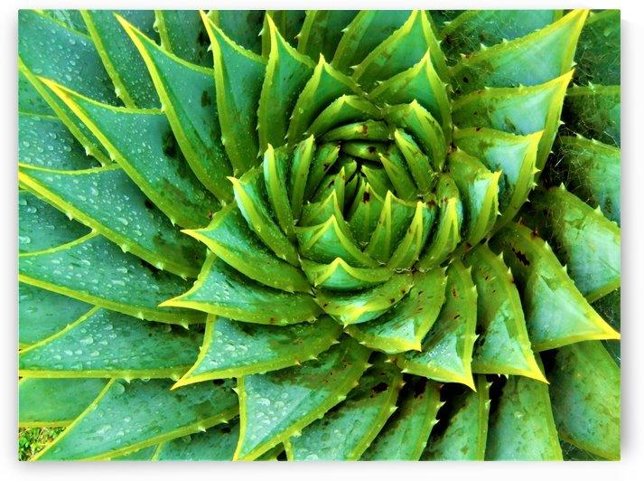 Cactus Spiral by Rachel Niven