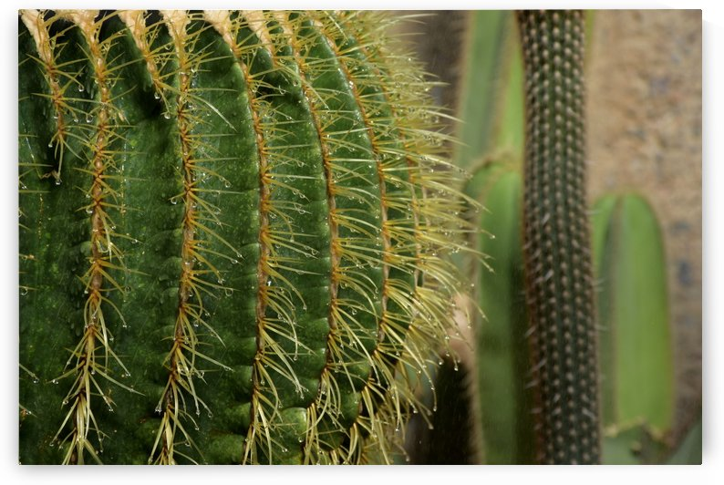 Cactus after watering by Michaela Scherr
