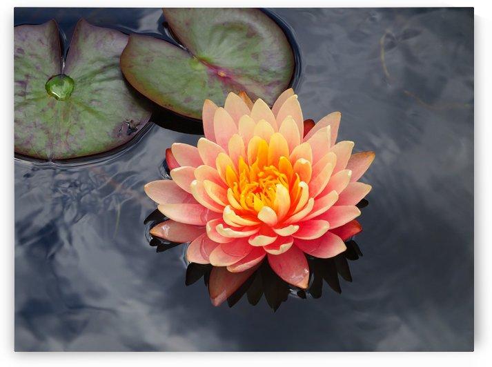 Peach Water Lily on Pond by Michaela Scherr