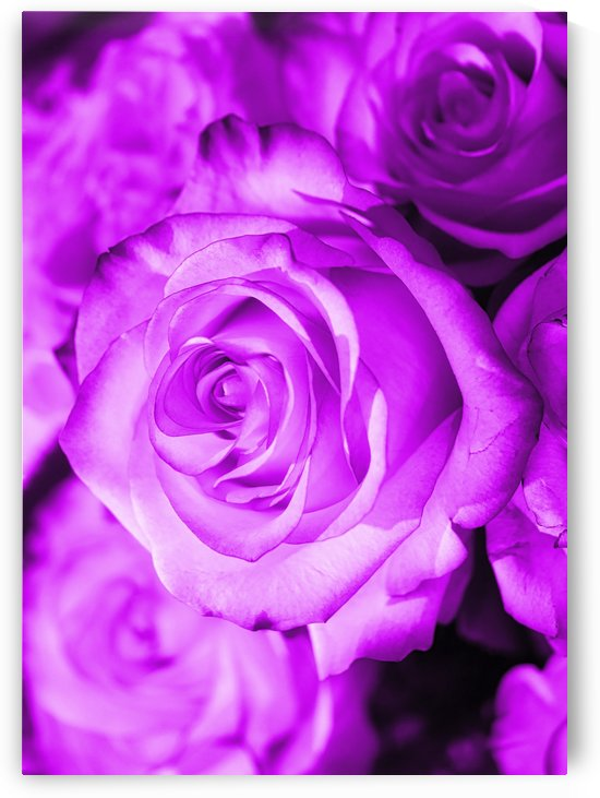 Rose purple  5600x4000 by Thula-Photography