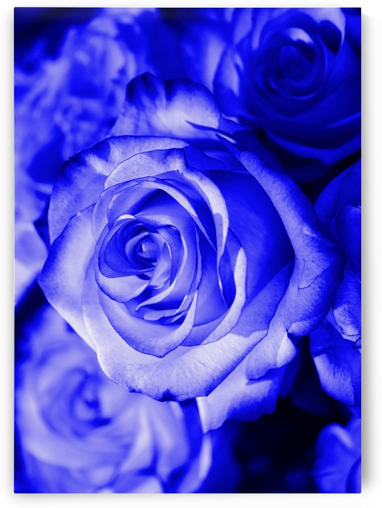 Rose blue by Thula-Photography