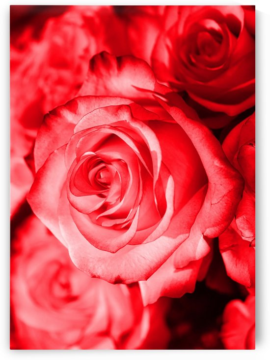 Rose red by Thula-Photography