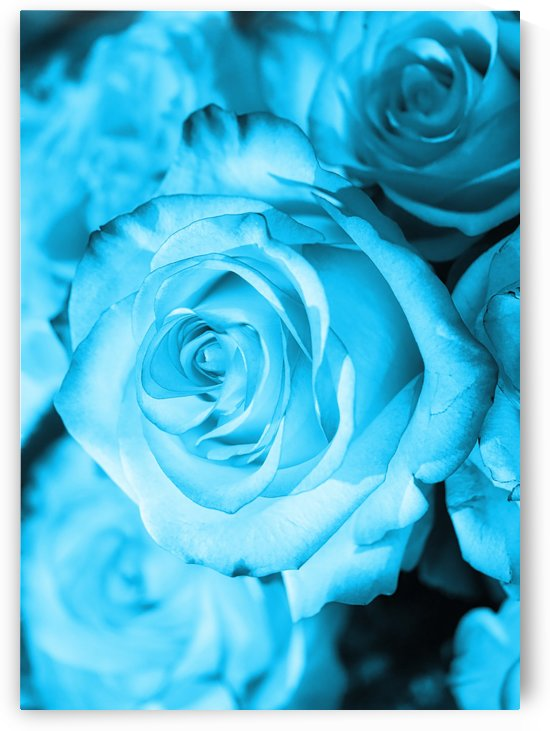 Rose light blue by Thula-Photography