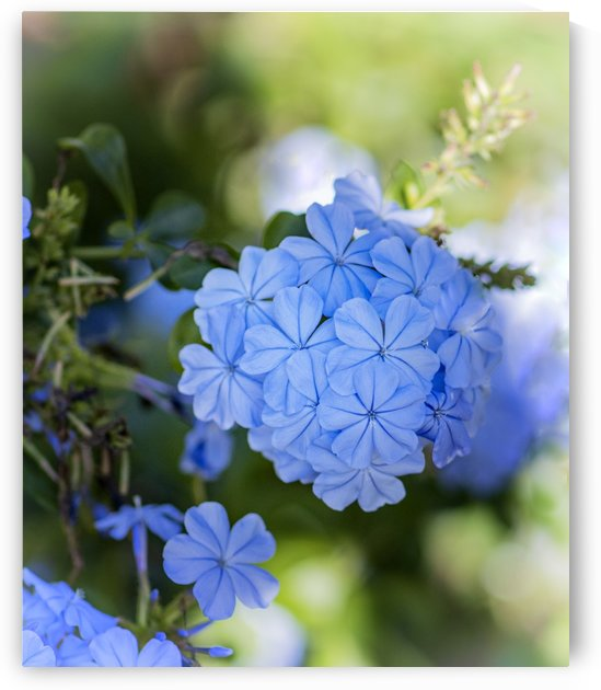 Plumbago by Connie Maher