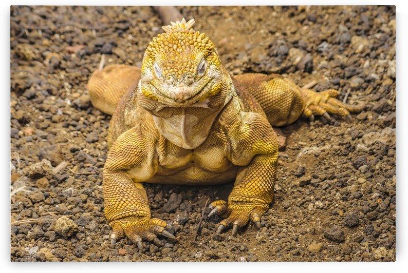Yellow Iguana, Galapagos Island, Ecuador by Daniel Ferreia Leites Ciccarino
