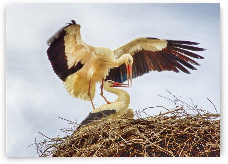Nesting stork pair by Jim Black
