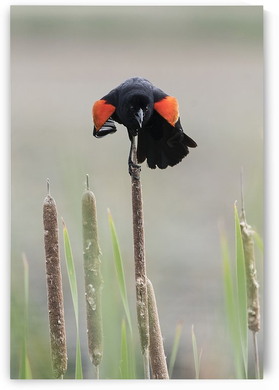 Upset Red Winged Blackbird   by Lee Fortier