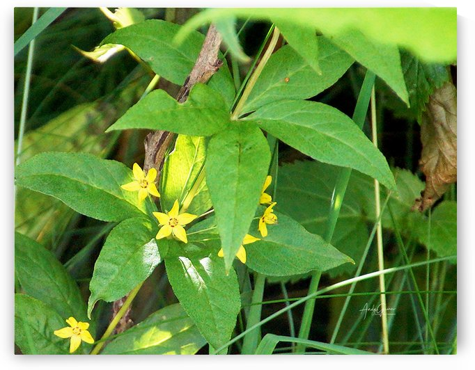 Whorled Loosestrife by Andy Griner
