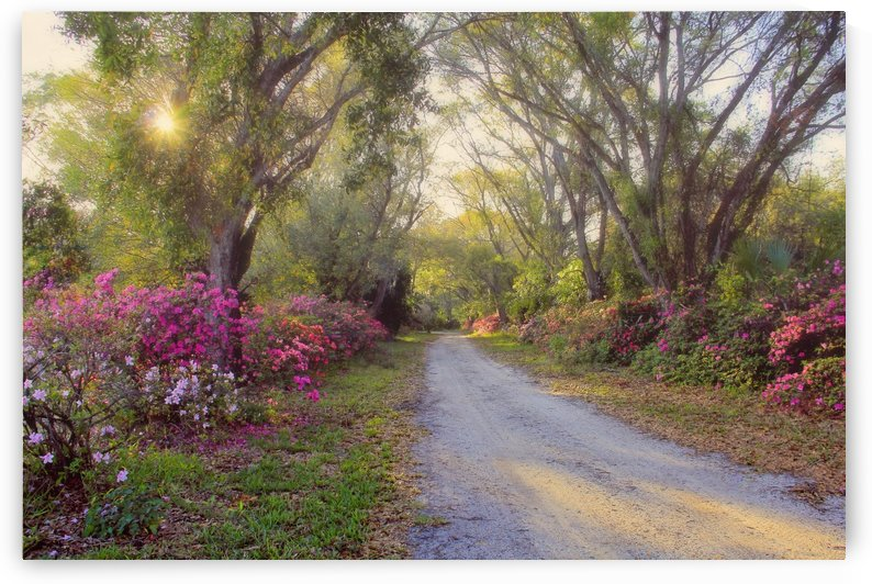 Azalea Lane by HH Photography of Florida