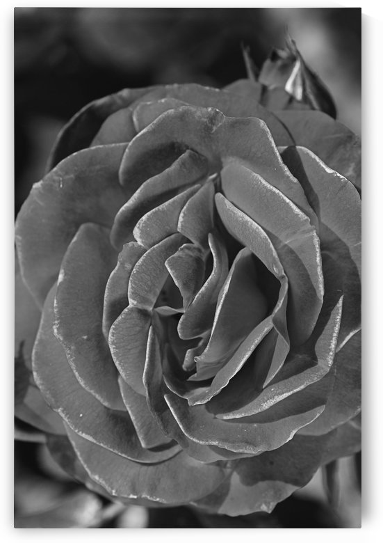 Divine Rose Black And White by Joy Watson