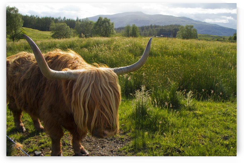 Heilan Coo by Lindsey McCarty
