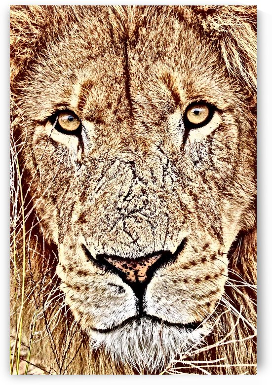 Male Lion Face thula art 1 by Thula-Photography