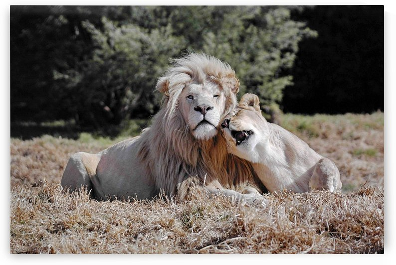 Lion Love 869 by Thula-Photography