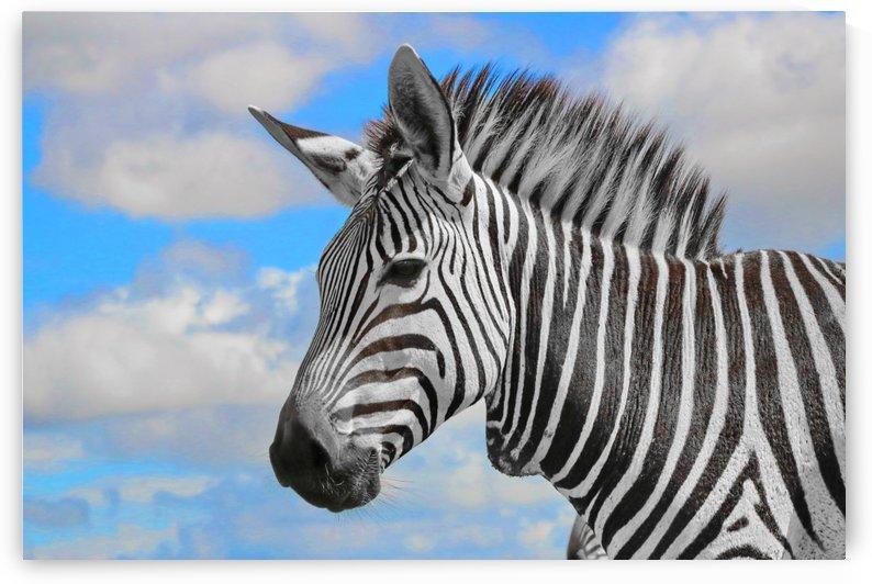 Hartmanns Mountain Zebra Portrait 8730 ck by Thula-Photography