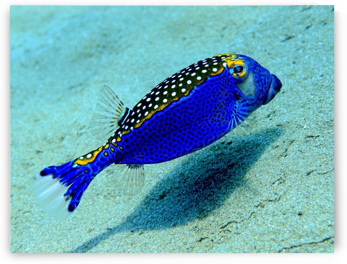 Like a blue birda blue box fish by Tatiana Gonnason