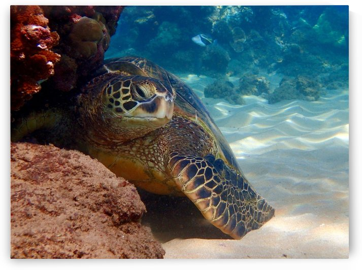 Afternoon  a resting green sea turtle  by Tatiana Gonnason