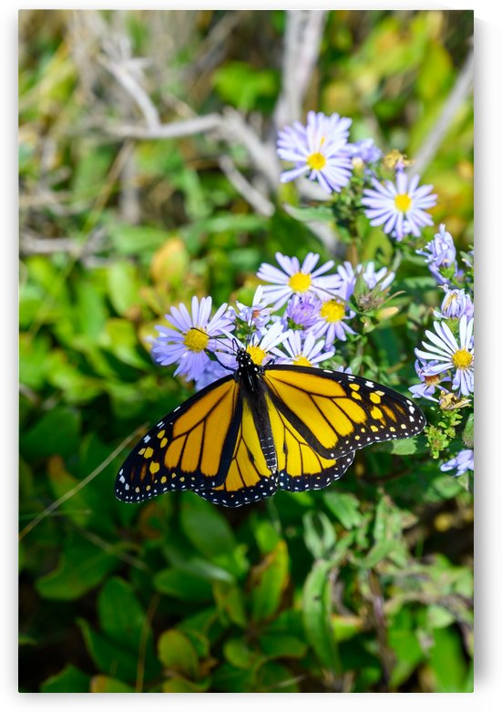 Yellow Butterfly by Ed St Germain