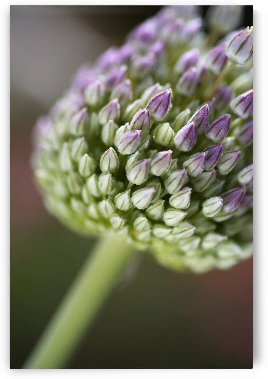 Garlic Flower Edible Bulb by Joy Watson