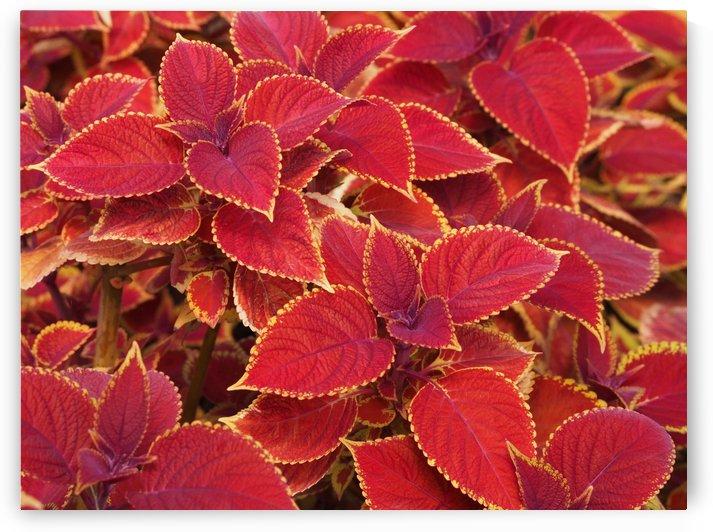 Vibrant Red Coleus Flowers by Michaela Scherr