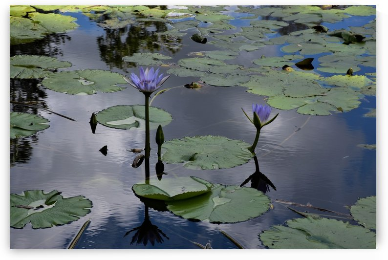 Blue Water Lily Pond Magic by Michaela Scherr