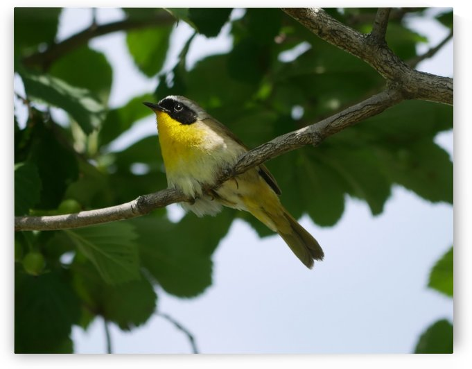 Common Yellowthroat by Robyn Larabee