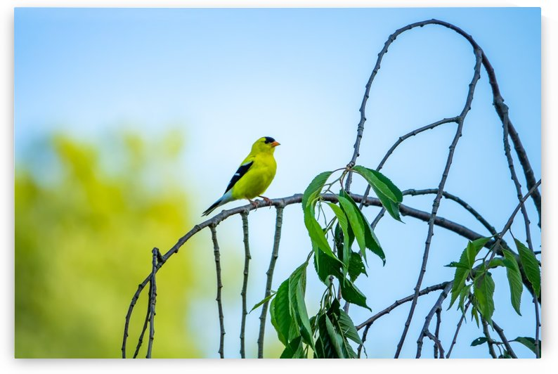 Golden Finch by RBA Photography