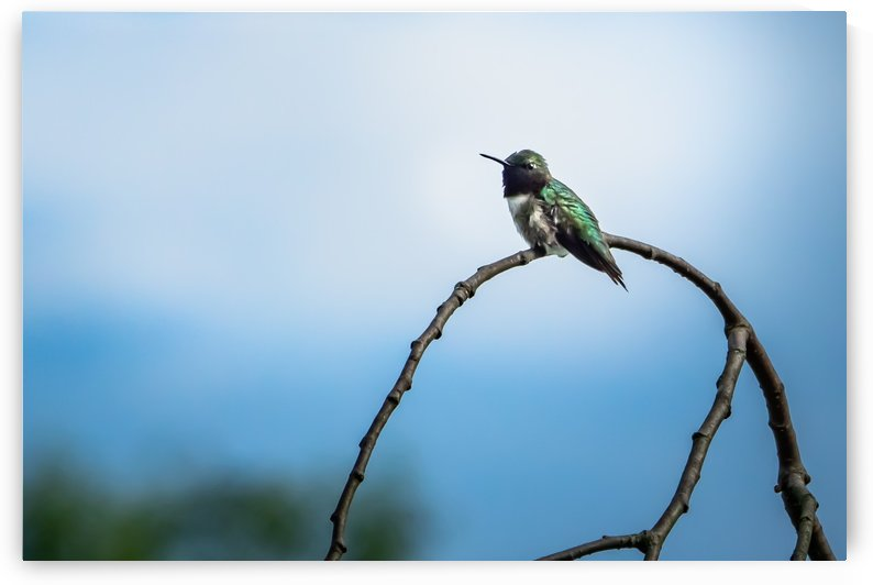 Humming Bird by RBA Photography
