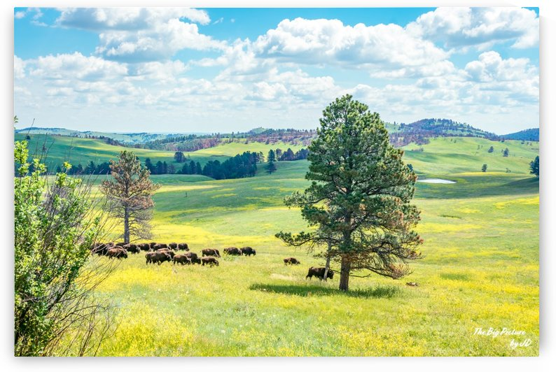Custer State Park Bison by The Big Picture by JD