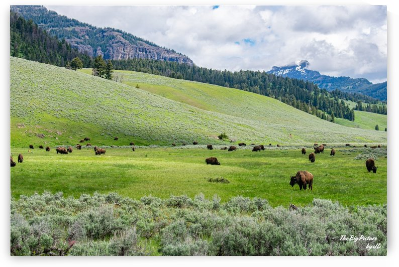 Yellowstone Bison by The Big Picture by JD
