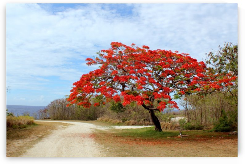 Flame Tree in bloom by On da Raks