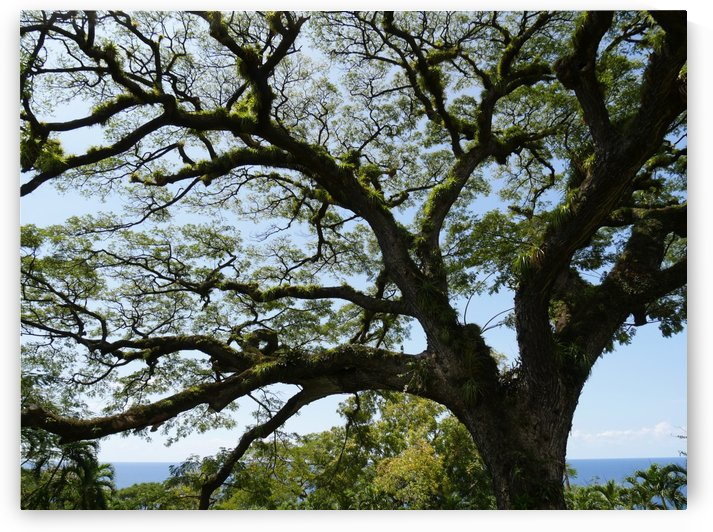 400-year old Saman tree by On da Raks