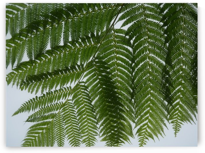Fern Wall by On da Raks