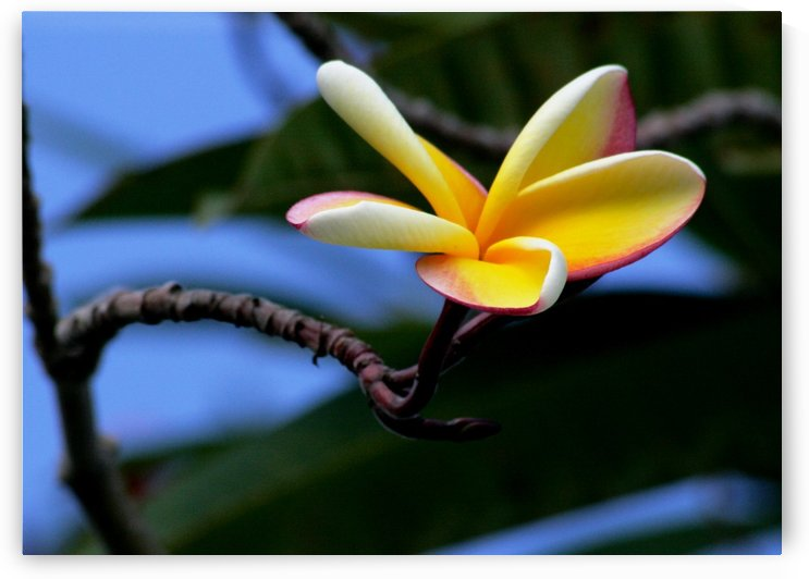 Yellow Plumeria  by On da Raks